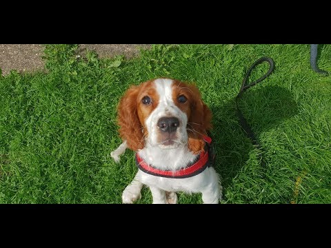Annie - 14 Week Old Welsh Springer Spaniel Puppy - 4 Weeks Residential Dog Training