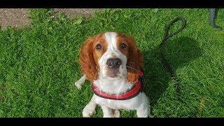 Annie  14 Week Old Welsh Springer Spaniel Puppy  4 Weeks Residential Dog Training