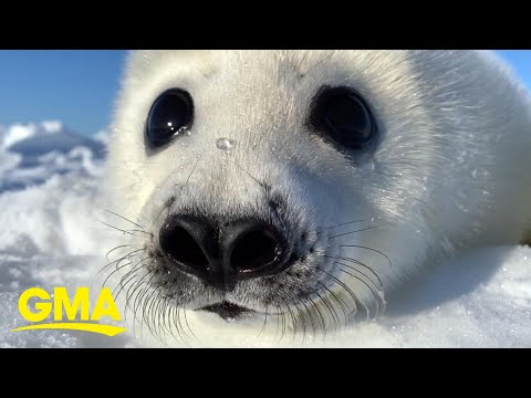 extraordinary-earth:-how-harp-seal-pups-rely-on-ice-floes-in-the-northwest-atlantic-l-gma