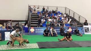 การแสดงความสามารถสุนัขพิทบูลไต่ผนัง   Thailand International Dog Show 2017