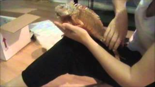 Unboxing iguana video; Ontario Iguanas introduces Phoenix