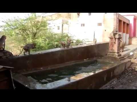 Des singes font des bombes dans l'eau!
