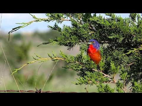 Painted Bunting MBO blog