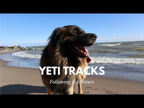Yeti Tracks | Leonberger at Guildwood Beach