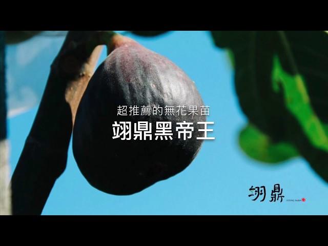 無花果的極品!翊鼎黑帝王,果實大+甜+豐產+好種,集所有優點的完美品種!值得擁有的超棒無花果苗
