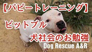 ピットブルパピー犬社会のお勉強 ◼◻◼◻◼◻◼◻◼◻◼◻◼◻◼◻◼◻◼◻◼◻◼◻ 犬の問題行...