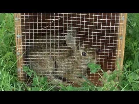 Beagle Boys Rabbit Hunting – Rabbit Hunting Training Techniques 9-21-13