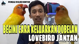 Download lagu CARA CEPAT MENGELUARKAN DOBELAN LOVEBIRD JANTAN
