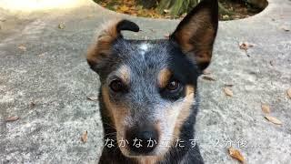 キャメロン(オーストラリアン・キャトルドッグ)は、耳をひっくり返さ...