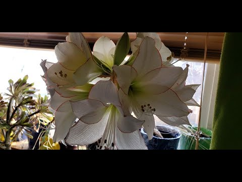 Growing Amaryllis Bulbs over and over again - SuburbanHomesteaderWY-AZ