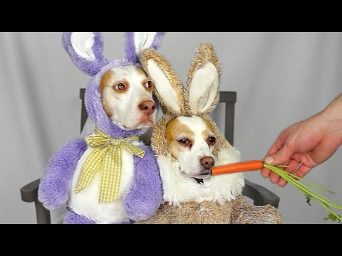 Dog in Bunny Costume Refuses to Eat Carrots