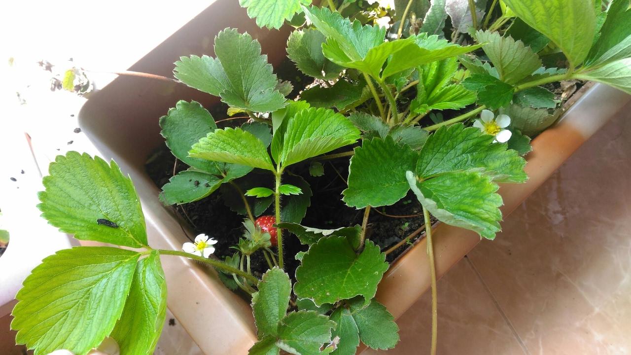 Cara Tanam Strawberry Paling Mudah Dan Praktis Di Dataran Rendah Tips Berkebun Organik