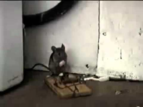 La peor trampa para ratones fumigaciones murcia youtube - Trampa de ratones ...