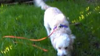 Wiley-maltipoo-adoptable-kenmarrescue-puppy