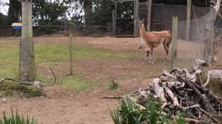 Guanaco infant takes first steps