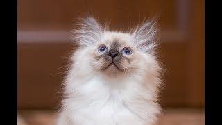 Байкал Сияние тайги питомник Невских маскарадных кошек