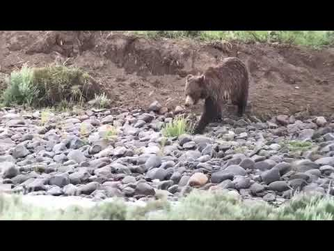 A Grizzly Crosses the Lamar River in Yellowstone