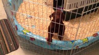 Labrador Puppy's First Night