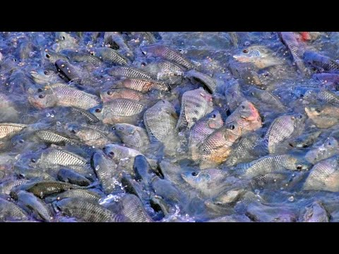 Monosex Fish Feeding Live Food Eating Delicious- Primitive Technology Monopriya Fish