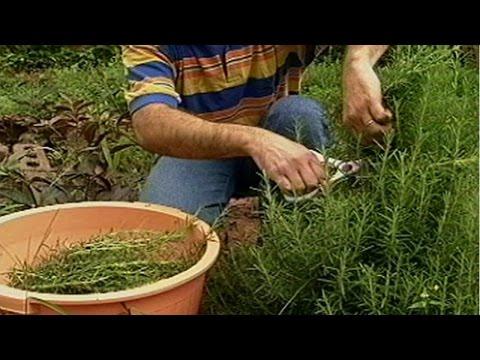 Curso Plantas Medicinais e Aromáticas - Colheita e Beneficiamento