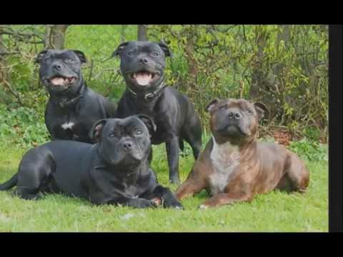 Staffordshire Bull Terrier compilation 2016