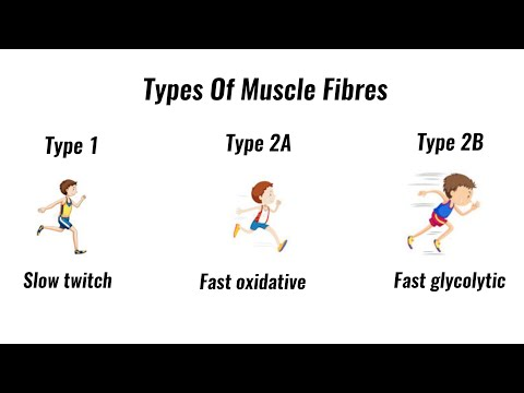 Types of muscle fibres fast twitch, slow twitch (GCSE PE)