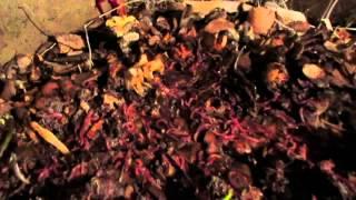 #Калифорнийские #черви. Выращивание в подвале.(Калифорнийские #черви благополучно перезимовали зиму. Никаких дополнительных утепляющих действий не..., 2015-04-20T05:17:13.000Z)