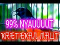 Pancingan Murai Batu Ampuh Kretekan Keramat Full Emosi  Langsung Ikut Emosi Shama Bird Fighter  Mp3 - Mp4 Download