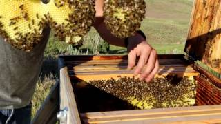 Beekeeping with Cody 2016: Bee Update June
