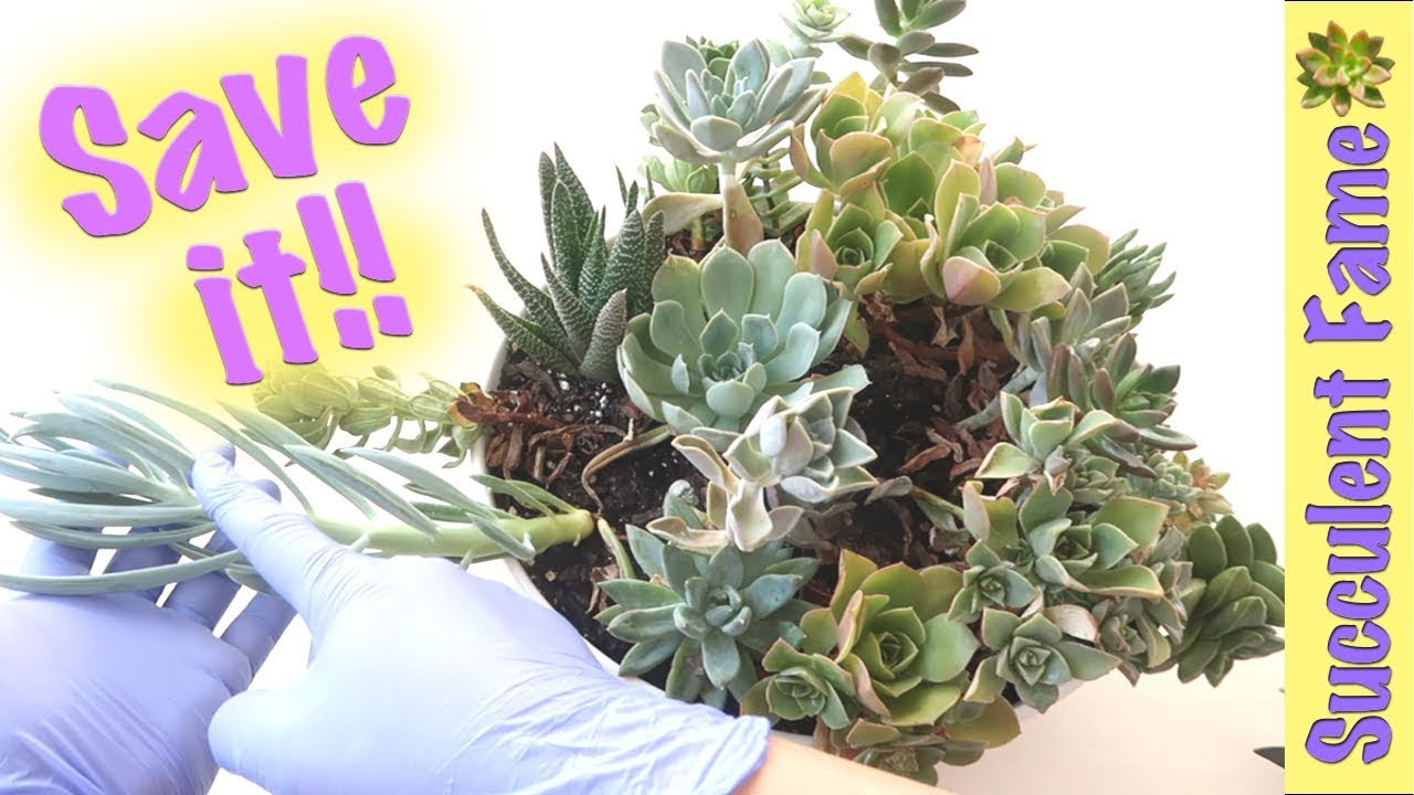 How To Save A Dying Succulent What You Need To Know Youtube