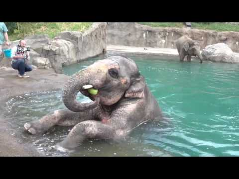 Elephant Attempts Underwater Handstand
