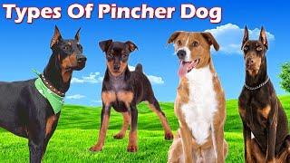 Different Types Of Pinscher Dogs    Pinscher Dog Breed