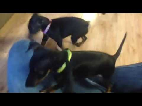 Toy Manchester pups 8 weeks
