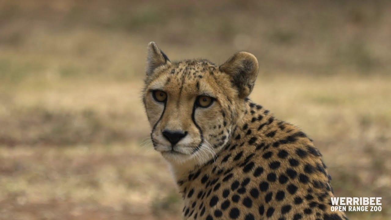 Download Meet Kulinda the Cheetah at Werribee Open Range Zoo
