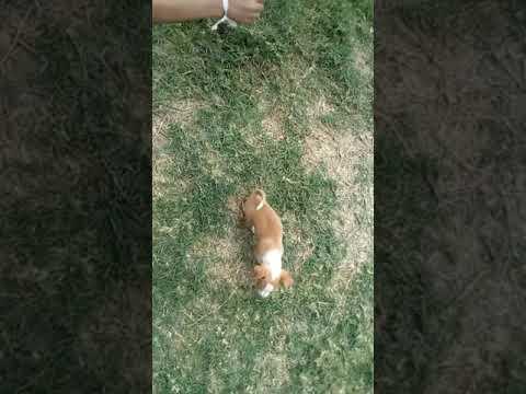 Cachorrito! Chihuahua(Saliendo de la school). ..