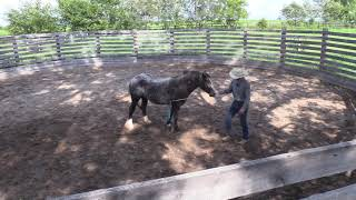 Starting a Gypsy Vanner Under Saddle Day 1 | Colt Starting with Colton Woods Horsemanship