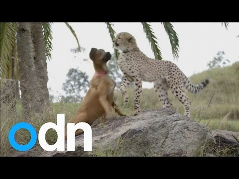 A cheetah cub wrestles with his puppy friend at San Diego Zoo