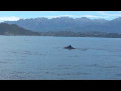 Sperm Whale Watching in Kaikoura
