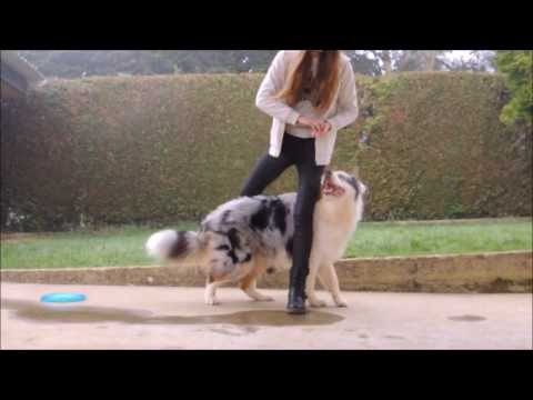 Amazing dog Tricks / Agility  - Australian Shepherd