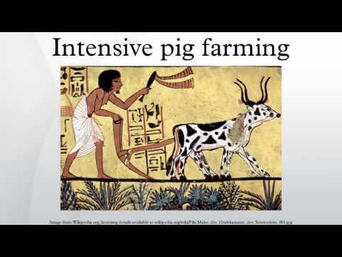 Intensive pig farming