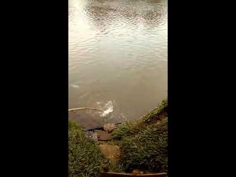 Crocodile In Kelani River