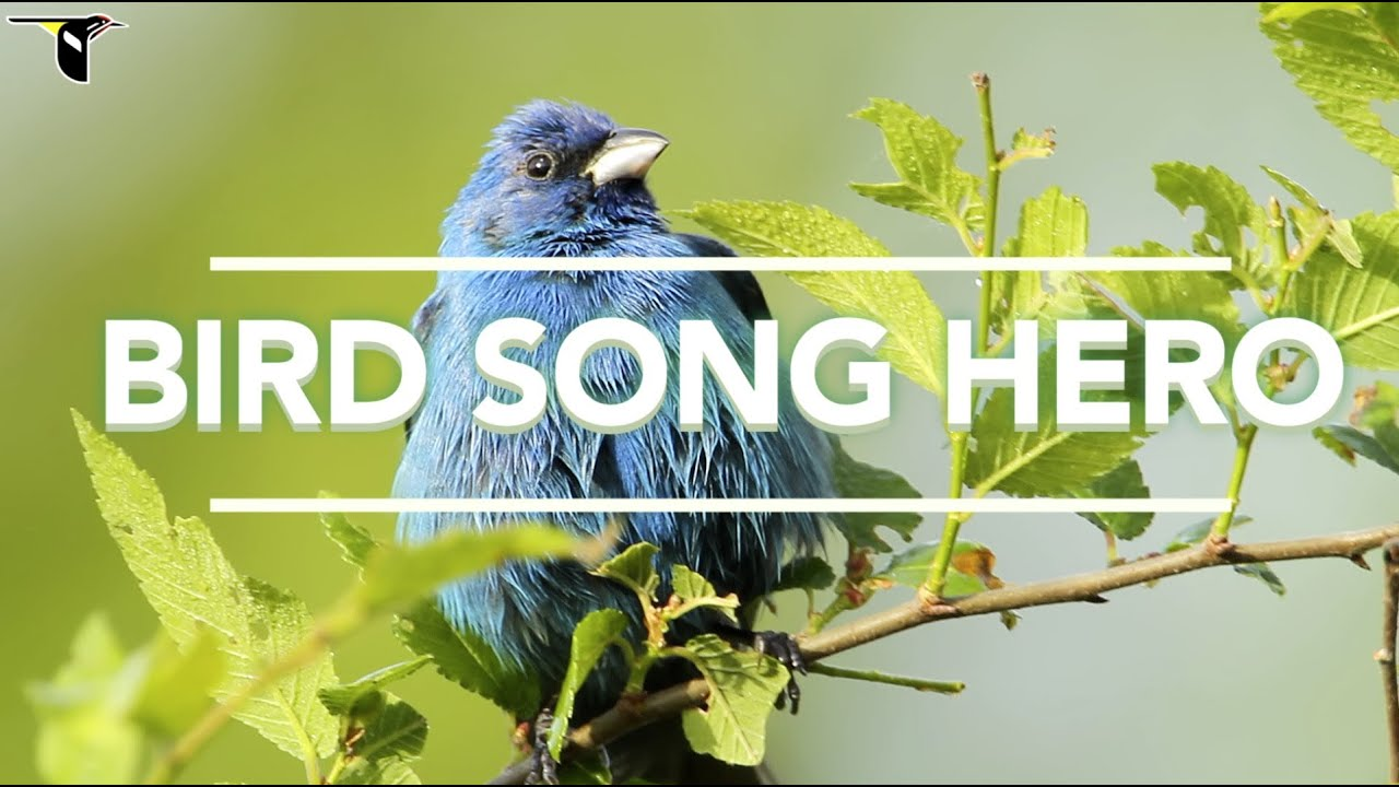 bird song hero the song learning game for everyone youtube