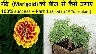 गेंदे (Marigold) को बीज से कैसे उगाएं 100% success – Part 1! Grow marigold from seed