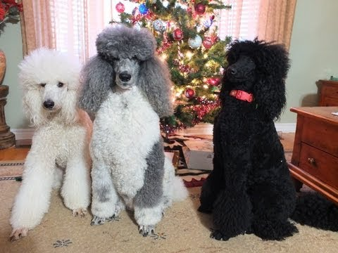 Christmas Fun with the Poodles
