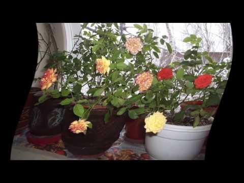 Как посадить отросток розы