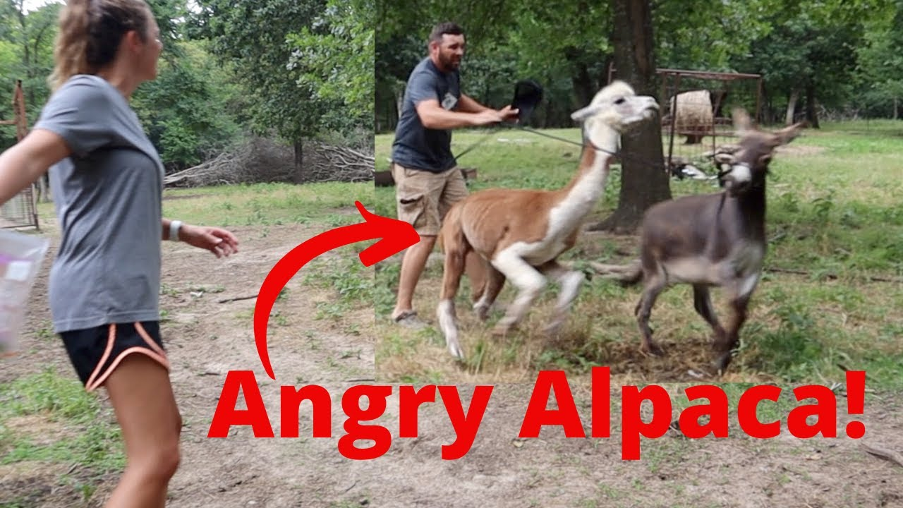 Angry Alpaca ATTACK! Rufus Came After ME!