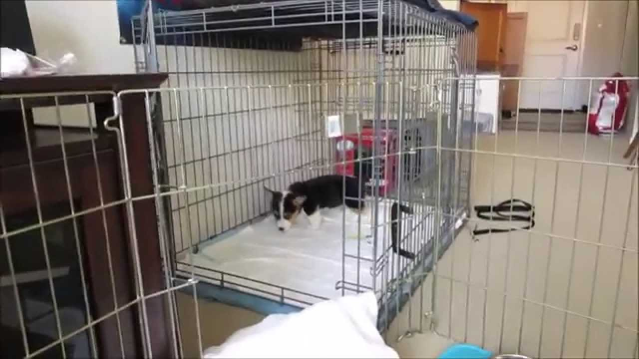 Corgi Puppy Using The Apartment At Only 8 Weeks Old