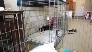 Corgi Puppy using the Puppy Apartment at only 8 weeks old!