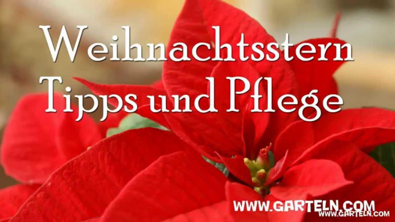 Tipps Fur Den Weihnachtsstern Euphorbia Pulcherrima Youtube