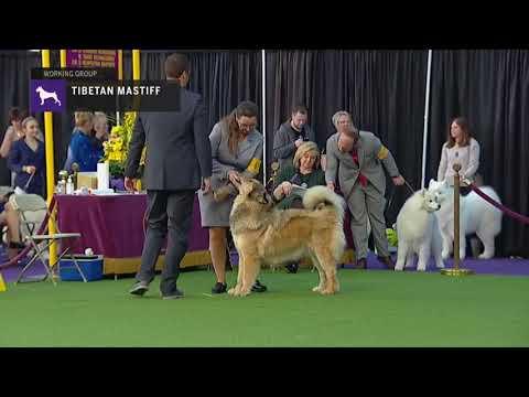 Tibetan Mastiffs | Breed Judging 2019